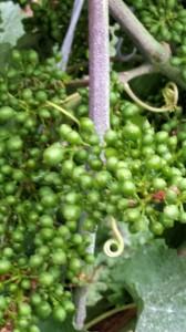 """Unmittelbar nach der Blüte wachsen die Trauben zügig und werden schon in wenigen Tagen """"in den Hang gehen"""". Das bedeutet, dass durch das zunehmende Eigengewicht, die Trauben sich nach unten hängen. Auf dieser Abbildung sieht man auch noch Reste von den Gespinsten, mit denen sich der Rebschädling Traubenwickler eingesponnen hatte."""