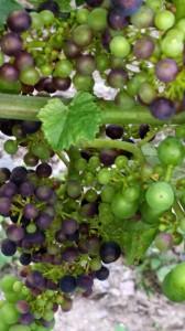 Unglaublich: Färbende Trauben bei der Rebsorte Regent am 20. Juli! Die Zeichen für ein gutes Weinjahr stehen gut - der Vegetationsvorsprung ist auffällig.